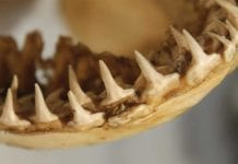 Shark_Teeth_image