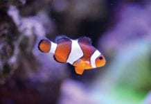Clown_Fish_Image